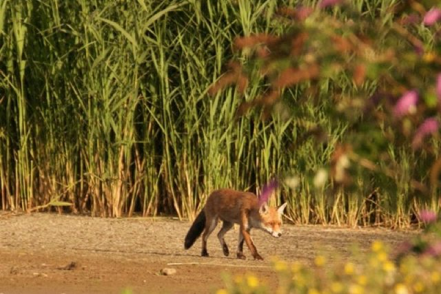 Mr Fox on the hunt