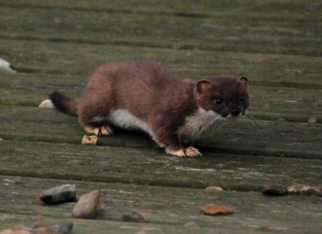 Lovely little stoat