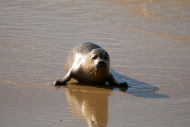 Baby seal on Southwold beach